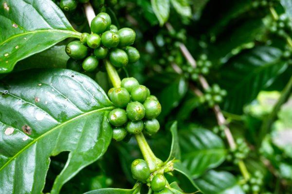 Las variedades de café en peligro de extinción - Noticias Café